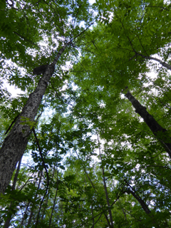 Photo looking up at Black Ash canopy in full summer, before Emerald Ash Borer