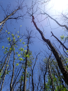Photo looking up at bare canopy of Black Ash trees after arrival of Emerald Ash Borer