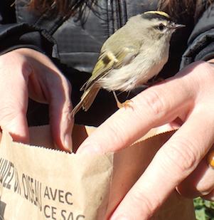 Photo of Golden-crowned Kinglet being released from paper bag after recovery from striking window