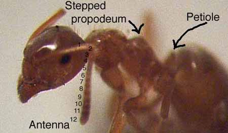 Photo of Lasius minutus ant showing distinguishing features of genus