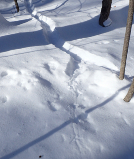 Photo of tracks of Ruffed Grouse in deep snow