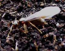 Photo of Lasius minutus queen (alate)