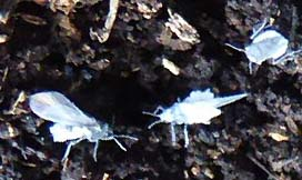 Photo of winged adult root aphids, genus Prociphelus