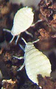 Photo of two immature root aphids, genus Prociphelus