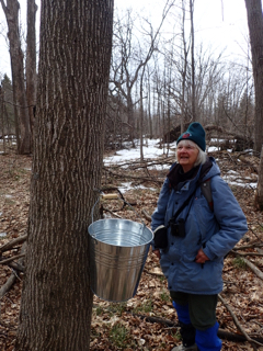 Photo of Macoun Club leader Barbara Gaertner inspecting sap pail hung on a Red Oak