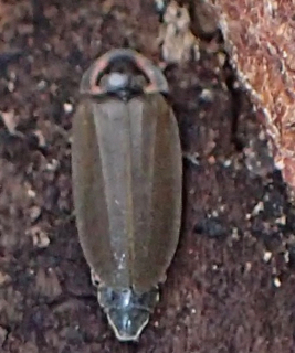 Photo of Ellychnia corrusca, Winter Firefly