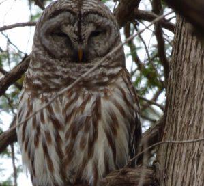 Photo of Barred Owl in a Macoun Club study tree