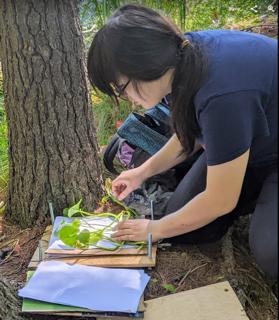 Photo of former Macoun Club member pressing plant specimens
