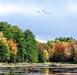 Photo of geese in flight over autumn scenery