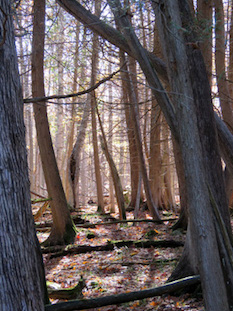 Photo of cedar (Thuja) swamp without invasive buckthorn
