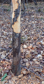Photo of Sugar Maple chewed by Porcupine in two successive years