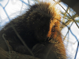 Photo of Porcupine looking down from tree branch