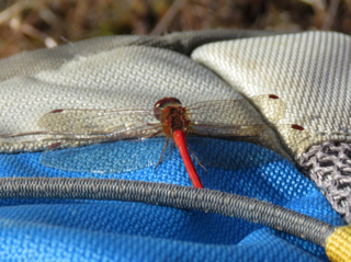 Photo of a (red) male Meadowhawk dragonfly