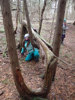Photo of Macoun Club member under Eastern White Cedar that goes up, down, and sideways