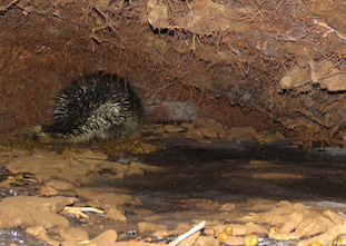 Photo of a Porcupine inside its den under an uprooted tree, flaring all its back quills in defence