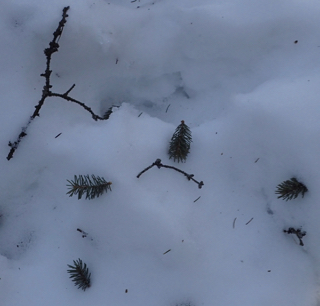 Photo of Balsam Fir twig tips lying on the snow, cut by a Red Squirrel and dropped after the tiny buds were eaten