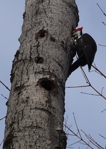 Photo of male Pileated Woodpecker looking into next cavity it has just started to excavate in a dead poplar