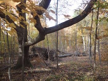 Photo of impressive Red Oak, one of the Macoun Club's study trees
